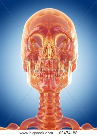 glass skeleton illustration - the skull