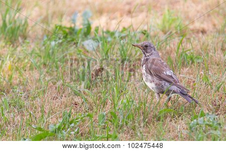 Young Song Thrush (turdus Philomelos)
