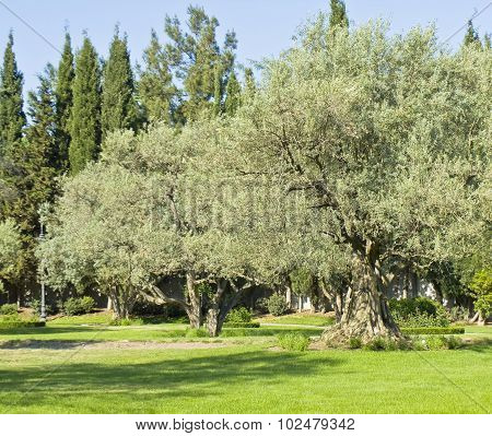 Garden With Olive Trees
