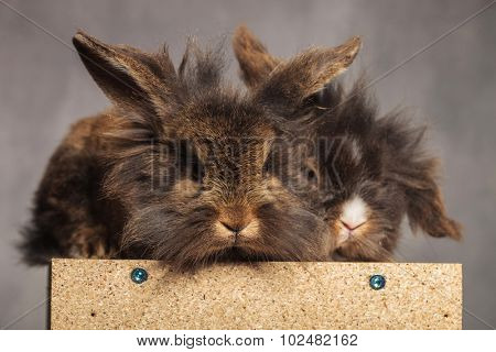 Two cute lion head rabbit bunnys looking at the camera while lying on a wood box.