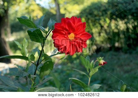 Big Red Flower Dahlia With Yellow Center