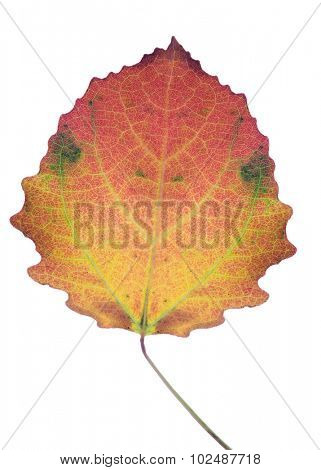 old aspen fall leaf isolated on white background