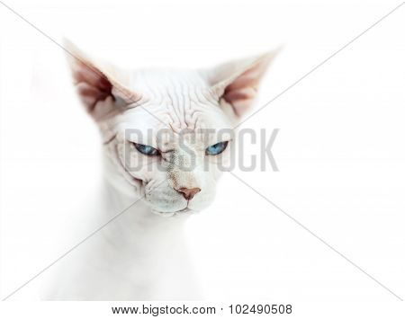 Sphinx Cat With Blue Eyes