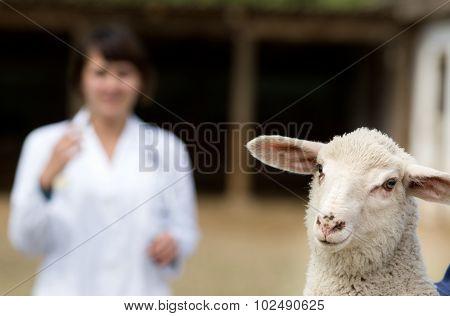 Lamb Portrait With Veterinarian