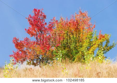 Wild Pear Trees With Reddened And Yellowed Leaves