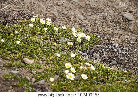 Mountain Avens (dryas Octopetala) Blossoming During Arctic Summer, Svalbard
