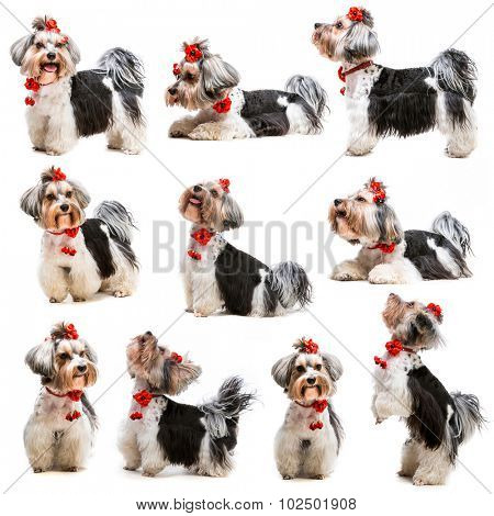 photo collage Yorkshire Terrier on a white background