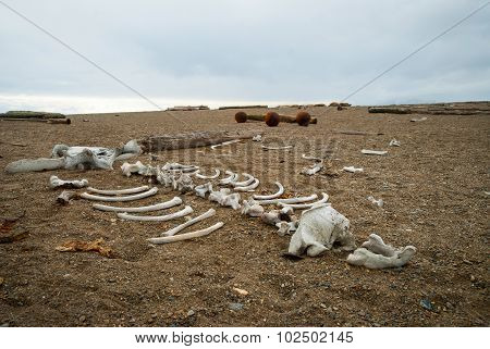 Walrus Skeleton On The Pebble Stone Shore, Svalbard