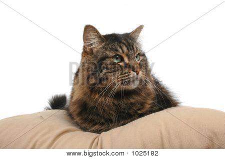 Cute Cat On Cushion 2