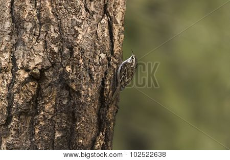 Treecreeper perched on a tree trunk