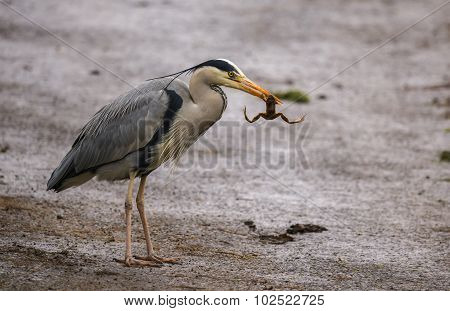 Grey Heron ardea cinerea eating a frog