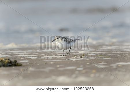 Sanderling Calidris alba standing on the shoreline