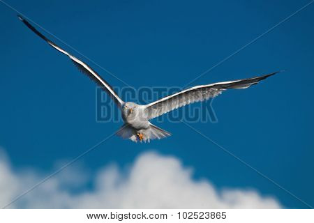 Hunting Seagull With Large Wingspread Flies In The Blue Sky