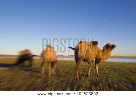 Camels Scenic Nature Animals Travel Concept