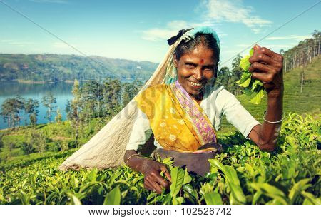 Indigenous Sri Lankan Tea Picker Harvesting Concept