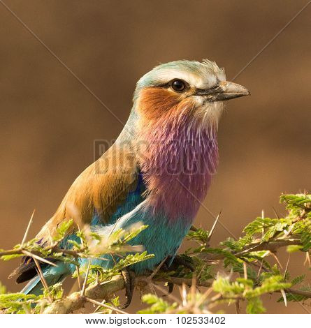 The Lilac Breasted Roller