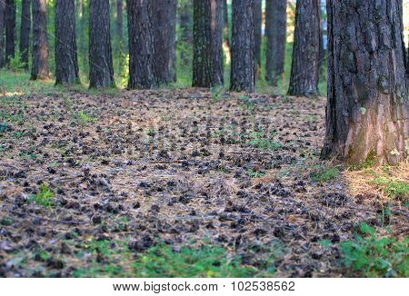 Pine Forest. A Lot Of Pine Cones On The Ground On Carpet Of Pine Needles.