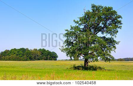 Lone oak tree in the green field