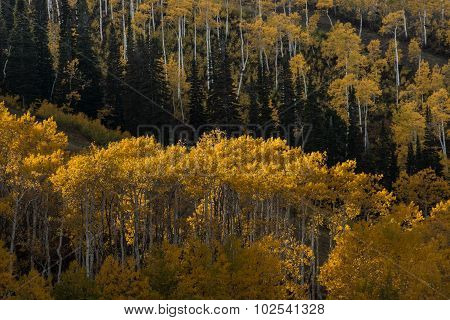 Aspen grove with golden leaves on the mountain side