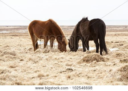 Two Icelandic Horses On A Meadow In Spring