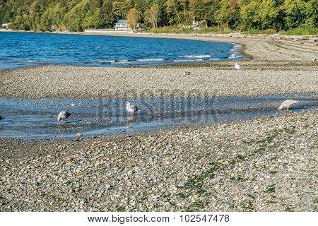 Seahurst Beach Seagulls
