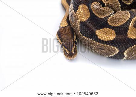 Ball Python (python Regius), In Studio Against A White Background 1