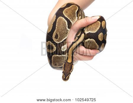 Holding In Hand Ball Python (python Regius), In Studio Against A White Background 1