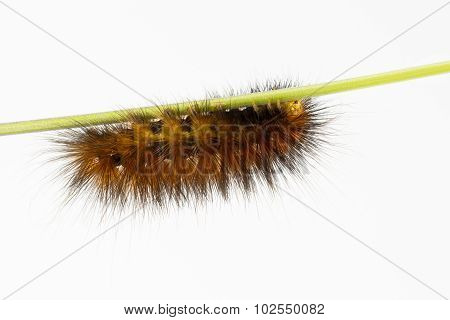 Wooly Orange-brown Caterpillar On Stem