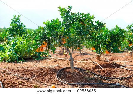 orange trees with fruits on plantation in summer