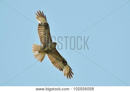 common buzzard flying against blue sky (buteo buteo)