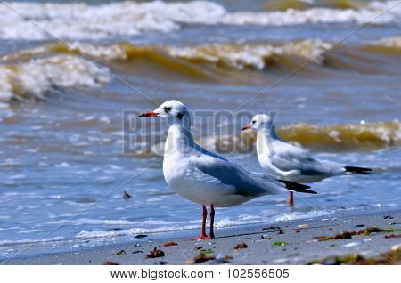 Seagulls On A Sandy Beach And Sea Surf