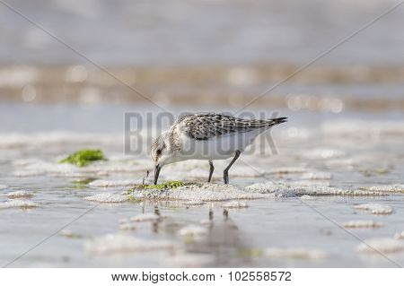 Sanderling Calidris alba on the shoreline feeding
