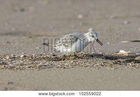 Sanderling, Calidris alba, standing on the beach