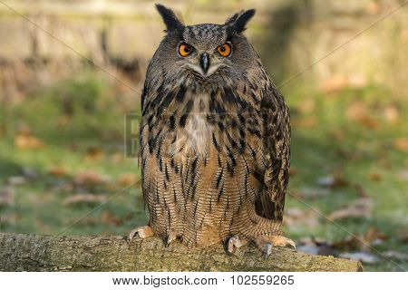 Eagle Owl, bubo, portrait, sitting on the grass