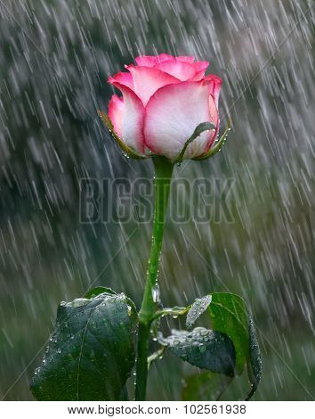 Pink and white rose into the rain