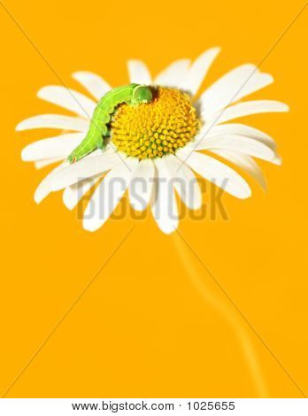 Daisywheel With Green Caterpillar On Yellow Background