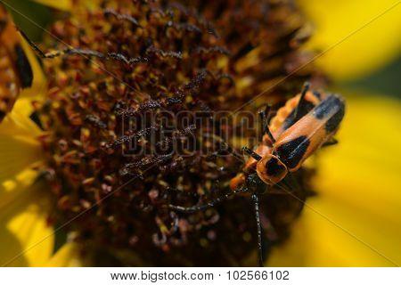 Macro Milkweed Bugs Mating