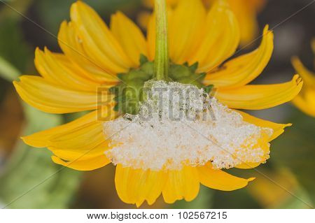Snow On Chrysanthemum