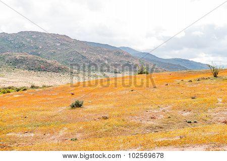 Orange And Yellow Wild Flowers Near Garies