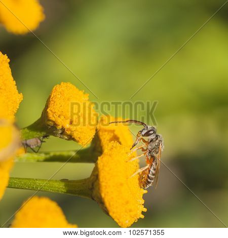 Grey Sweat Bee