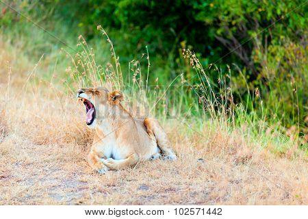 Female Lion Yawning, Masai Mara