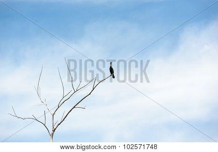 Single Cormorant On Dry Tree Looking Up