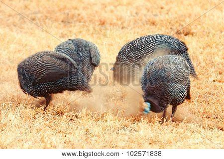 Helmeted Guinea Fowls, Lake Nakuru