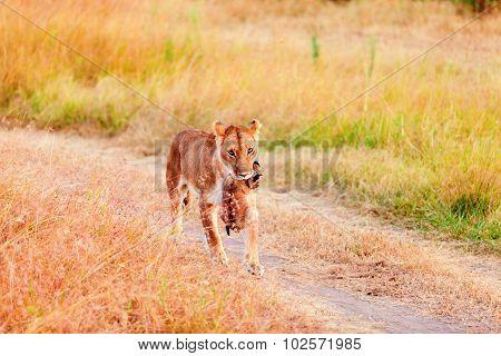 Female Lion Carrying A Cup, Masai Mara