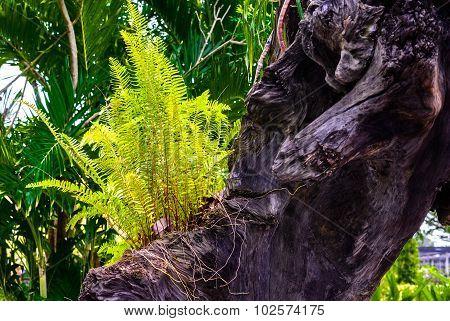 Fern Plant Growing On Old Tree Stump In Garden.