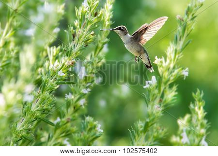 Hummingbird Over Summer Background