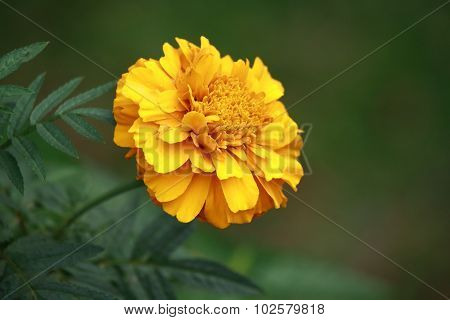 close up yellow marigold flower