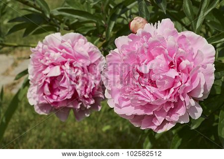 Two Pink Peonies Closeup In The Garden