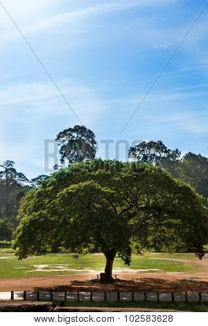 Huge Umbrella Tree