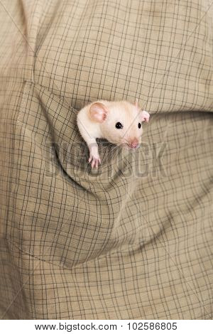 Baby Rat In A Shirt Pocket